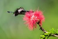Colibri Driade_1