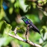 Colibri Driade_2