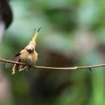 Colibri Ermite nain_1