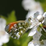 papillon dans la BRENNE_1