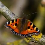 papillon la petite tortue_1