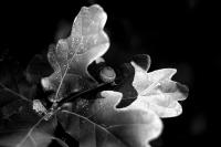 feuilles de chêne