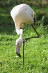 zoo de tregomeur flamant_1
