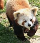 zoo de tregomeur panda_1
