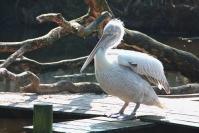 zoo de tregomeur pelican_1