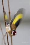Oiseaux de nos jardins_1