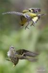 Oiseaux des jardins_1