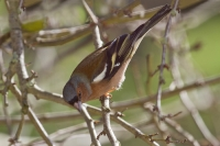 Oiseaux des jardins_2