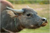 Laos Champasak le buffle_1