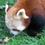 Panda Roux zooparc Trégomeur octobre 2010_1