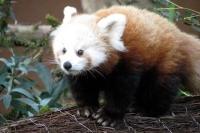 Panda Roux zooparc Trégomeur octobre 2010_2