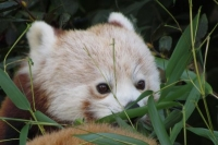 Panda Roux zooparc Trégomeur octobre 2010_3