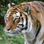 Tigre zooparc Trégomeur octobre 2010_1