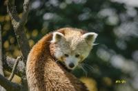 Amour de petit Panda_1