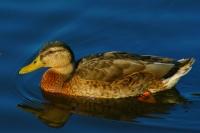 Crépuscule sur un magnifique canard_1