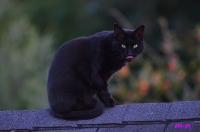Chat noir perché sur un toit_1