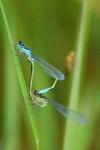 Couple de libellules_1
