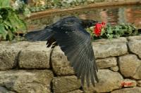 Le corbeau à la rose_1