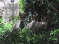Les trois renardeaux_1