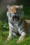 Magnifique tigre_1