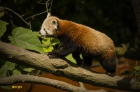 Petit Panda en ballade_1