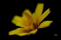 Petite fleur des falaises de Plouha_1