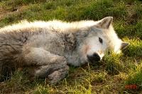 rencontre magique avec un loup_1