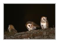 Animaux - Oiseaux - Les effraies de La Calarée