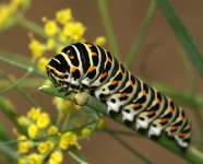 Macro - Chenille de Machaon