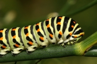 Macro - Chenille du Machaon