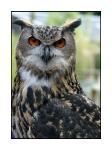 Animaux - Oiseaux - Grand-duc d'Europe
