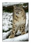 Animaux - Portrait - Panthère des neiges
