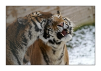 Animaux - Portrait - Tigre