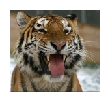 Animaux - Portrait - Tigre