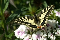 Macro - Papillon Machaon