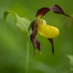 Cypripedium calceolus_1
