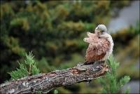Dans l'intimité du Faucon Crécerelle_3