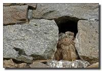 Dans l'intimité du Faucon Crécerelle_4