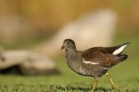 Oiseaux des marais_1