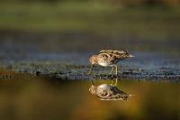 oiseaux des marais_2