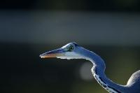 Oiseaux des marais_3