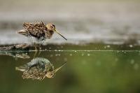 oiseaux des marais_5