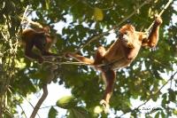 AMAZONIE - Singes Hurleurs_1