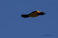 AMAZONIE PERUVIENNE-Oiseau_1