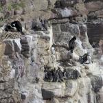 CAP FREHEL & ses Pingouins_1
