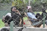 Nurserie de Bonobos en R.D.Congo_1
