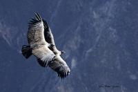 PEROU-Vol de Condors_1