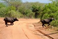 POURSUITE DE BUFLES AU KENYA_1