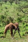 GIRAFES   KENYA_1
