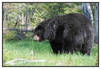 OURS GRIZZLI  CANADA_1